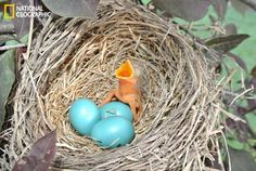 This robin nestling hatched on May 15. The nest is located in Newton, Kansas. The remaining eggs hatched on the 16. (Photo and caption courtesy Knox Rhine/National Geographic Your Shot)