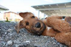 irish terrier, my next dog