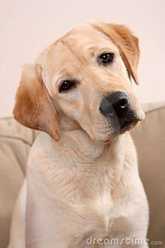 Labrador Dog with I don't understand look