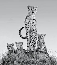 One of the most amazing experiences of my lifetime is this sighting of the cheetah and her cubs at Malamala game reserve in South Africa in December 2012.     On the 3rd day of my stay at Malamala my ranger guide mentioned that one of his colleagues had spotter a female cheetah and  by the way she moved about carefully that she might be with cubs.   So we set of at half 4 in the morning hoping for the possibility of sighting the cheetah and her cubs and tutned out tone the sighting of my ...