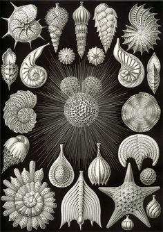 Haeckel Thalamphora.jpg