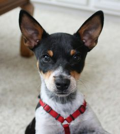 Rat Terrier..I want another one...they're so cute