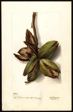 Author(s):Passmore, Deborah Griscom, 1840-1911 Subject(s):Carya , hickory Year:1904