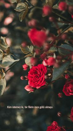 A Dozen Red Roses iPhone Wallpapers for Valentine's Day - Wallpaper World - iPhone - Android Wallpapers Flower Wallpaper, Nature Wallpaper, Wallpaper Backgrounds, Phone Backgrounds, Romantic Roses, Beautiful Roses, Dozen Red Roses, Rose Pictures, Flower Aesthetic