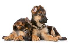 Cuccioli di cane di razza Pastore tedesco