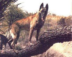 History & Description Of The Belgian Malinois Big Dogs, I Love Dogs, Belgian Malinois Dog, Belgian Shepherd, Doberman Pinscher, Rottweiler, Dog Pictures, Pup, History