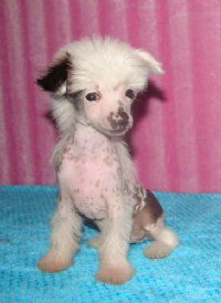 ive always loved these little guys! Chinese Crested Puppies...i want it so bad!