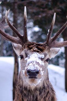 Real reindeer face reindeer on pinterest reindeer deer and rudolph