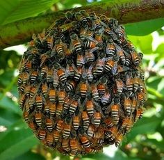 Us a ball I Love Bees, Birds And The Bees, Cool Insects, Bugs And Insects, Beautiful Creatures, Animals Beautiful, Pictures Of Insects, Bee Swarm, Buzzy Bee
