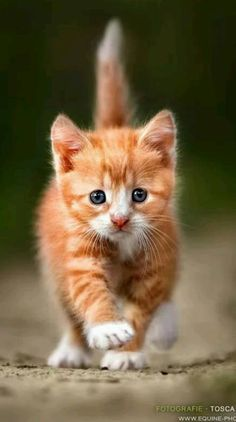 50 Cute Cats Make Your Life Happier - Katzen - Gatos Cute Cats And Kittens, I Love Cats, Crazy Cats, Kittens Cutest, Weird Cats, Lps Cats, Fluffy Kittens, Pretty Cats, Beautiful Cats