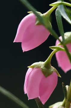 Boronia heterophylla by philipbouchard, via Flickr