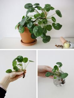 Pilea peperomioides, known as Chinese money plant, lefse plant, or missionary plant