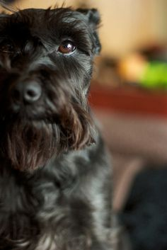Miniature Schnauzer by MNGrant looks so much like Atticus:-)