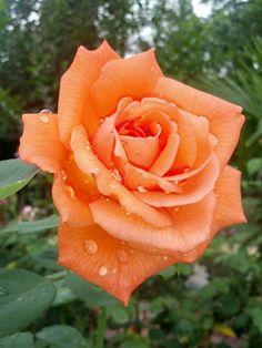 Rose 'Arizona' after a light June rain 2013