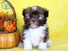 Look at this adorable Havanese pup! She is a social butterfly ready to go on all new adventures. Havanese Puppies For Sale, Havanese Dogs, Rottweiler Puppies, Pomeranian Puppy, Daisy Dog, Baby Dogs, Doggies, Baby Sister, Photographing Babies