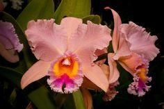Orchid x Brassolaeliocattleya grex George King 'Serendipity'