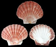 Deltona Seashells & Gifts - IRISH FLAT SCALLOP SHELL (EA)