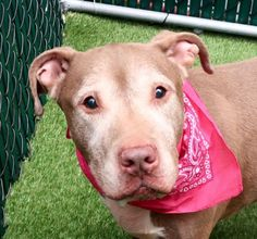 SUPER URGENT Manhattan Center HAZEL aka FLORA – A1112577  FEMALE, TAN / WHITE, AM PIT BULL TER MIX, 8 yrs STRAY – STRAY WAIT, NO HOLD Reason STRAY Intake condition EXAM REQ Intake Date 05/20/2017, From NY 10458, DueOut Date 05/23/2017,