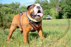 Exclusive Hand Painted #Leather #Harness for #British #Bulldogs $159.90   www.all-about-english-bulldog-dog-breed.com