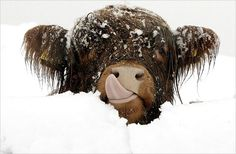 Baby Highland Cow. Just a Baby Highland Cow in the Snow