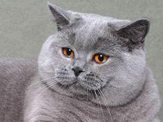 kot brytyjski -niebieski