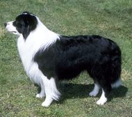 Farm Dog Breeds - The Border Collie dog breed is often considered the finest sheepherding dog in the world. It has strong herding instincts and can often work independently. Farm Animals, Cute Animals, Farm Dogs, Hobby Farms, Farm Yard, Border Collies, Livestock, Pet Care, Dog Breeds