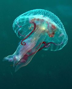 Jellyfish taken at Quays site, Ras Mohamed Park, Egypt by Nikki van Veelen via Flickr