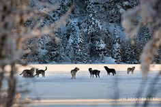 Jim Brandenburg talks about the wolves of Ely, I just love him.