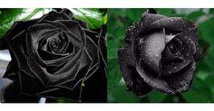 黒薔薇 花言葉は「貴方はあくまで私のもの」「憎しみ、恨み」「決して滅びることのない愛、永遠の愛」