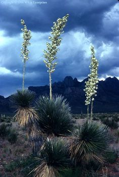 yucca is New Mexico's state flower. These are near Las Cruces. Photography Gallery, Nature Photography, New Mexico Usa, Southwest Usa, Mexico Style, New Mexican, Colorado, Land Of Enchantment, Desert Plants
