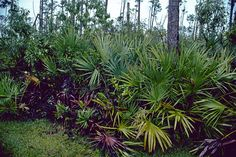 Vegetation - The saw palmetto is often found on the floor of the slash pine woods. (Everglades National Park, Florida)
