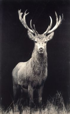 Stag Picture on canvas