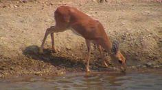 Steenbok at Naledi - Sep 10 2016 - Wildlife, Animals, Beautiful, Animales, Animaux, Animal, Animais