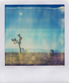 joshua trees in the mojave desert.