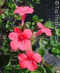 Barleria repens, Barleria galpinii, Small Bush Violet  Click to see full-size…