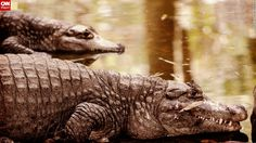 """Speaking of crocodiles, <a href=""""http://ireport.cnn.com/docs/DOC-1131192"""">Sujay Govindaraj</a> photographed some basking in India's <a href=""""http://www.karnatakatourism.org/Bannerghatta%20National%20Park/en"""" target=""""_blank"""">Bannerghatta National Park</a>. A portion of the park is dedicated as a biological reserve for animals and plants in the region."""