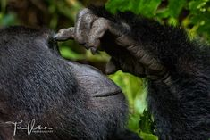 Now i have to think ! - Mountain Gorillas in Uganda
