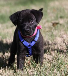 Vanessa is an adoptable Black Labrador Retriever Dog in Alpharetta, GA. An Adoption Application for this dog can be found on our website, www.angelsrescue.org, and can be faxed or submitted online. Be...