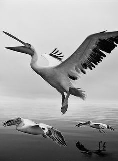 Flight of the pelicans in Namibia • photo: Labat-VWPics on PhotoShelter