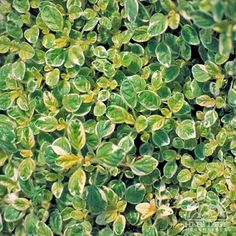 This variegated Oregano forms a low mounding carpet of small green leaves, generously dappled with creamy-white markings. The foliage and flowers double as a culinary herb, adding a mild oregano flavor and spark of co. Planting Flowers, Herbs, Plants, Border Plants, White Leaf, Green Plants, Perennials, Planting Herbs, Rabbit Resistant Plants