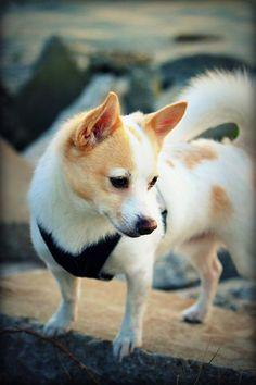 Jack Russell Cross Pomeranian Cuteness ʢᴥʡ Terrier Dogs