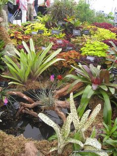 Bromeliads with coleus and sweet potato vine.
