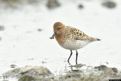 Category: Bird   Population: < 100 breeding pairs   Threats To Survival: Trapping on wintering grounds and land reclamation.