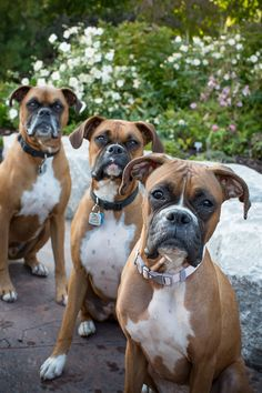 This is what I call heaven, having not just one Boxer friend but three, It would be amazing!!