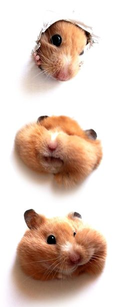 lol--hamster doing hamster things, I really enjoy these little guys. Haven't had one in while (since I started keeping CATS!)