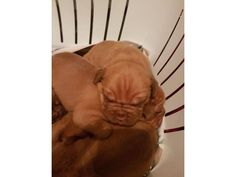 Dogue de bordeaux puppies is listed For Sale on Austree - Free Classifieds Ads from all around Australia - http://www.austree.com.au/pets/dogs-puppies/dogue-de-bordeaux-puppies_i3029