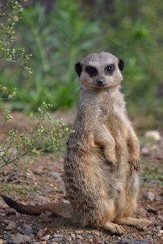 Meerkat from Marwell Zoo Marwell Zoo