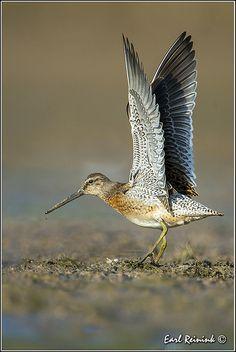 Long-Billed Dowitcher, Limnodromus scolopaceus  -  shorebird