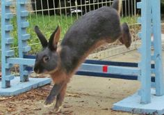 Training with your rabbit to do the sport of rabbit hopping lets your bunny show off.