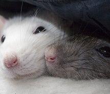 Rat - fine image